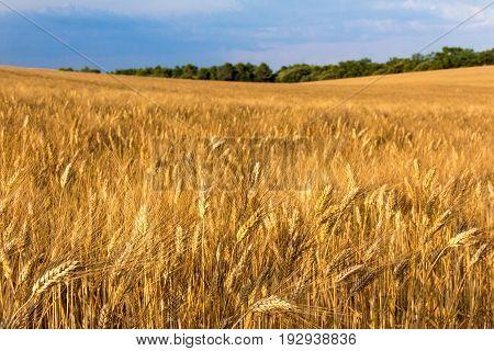 Ripening wheat fields in Provence in golden sunlight