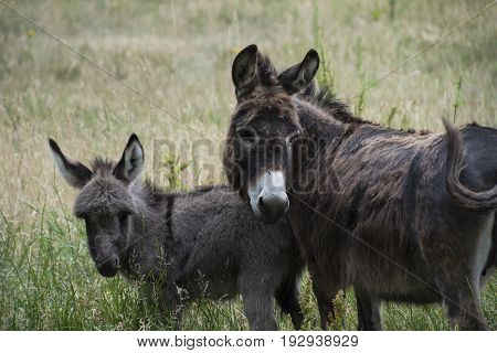 Mother donkey with cute baby donkey at the farm