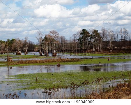 Panoramic landscape of Cypress trees growing in a pond in North Carolina USA.