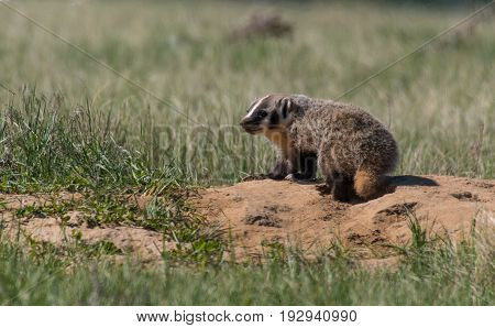 American Badger Cub Waiting Impatiently for its Mother at its Den