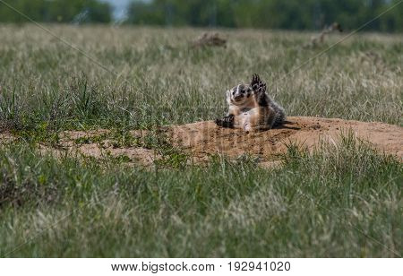 An American Badger Cub Being Silly While Mom is Away From Den