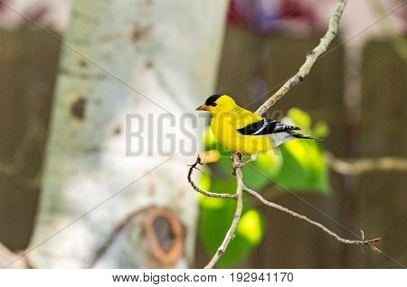 An American Goldfinch Perched on an Aspen Branch