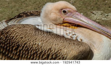 A closer shot of a pelican warming up in the sun. Detail photo pelican. Big famous bird.