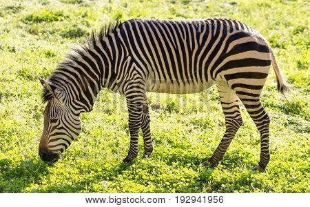 Zebra on green grass in a park in nature