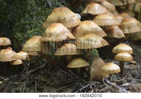 Sheathed woodtuft on an old stump close up