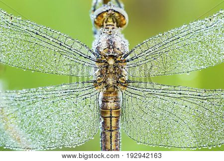 Closeup photo of dragonfly wings with water drops