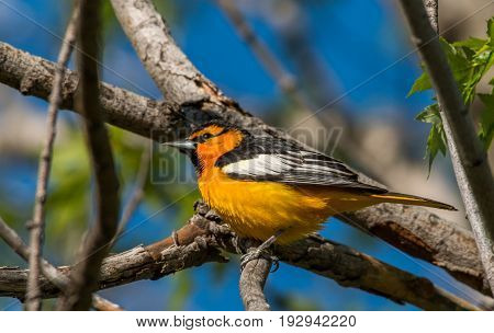 A Beautifully Colored Bullock's Oriole Perched on a Branch