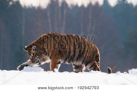 Young siberian tiger fool around with piece of iced snow Panthera tigris altaica