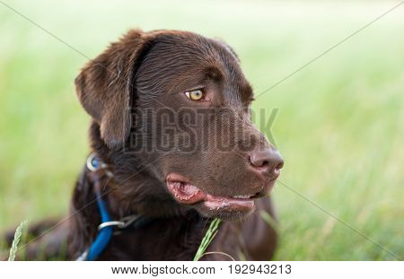 funny dog - young cute brown labrador retriever puppy on a meadow with a leash around his neck looking very dumb with mouth open