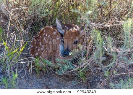 A Newborn Baby Deer Fawn Hiding in Sagebrush