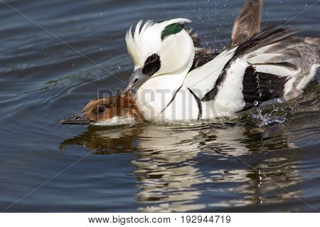 Ducks copulating. Male and female smew (Mergellus albellus) birds having sex on lake. Breeding pair mating.