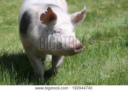 Spotted pietrain pig with black spots on the meadow