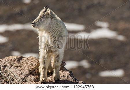 Mountain Goat Juvenile on the Rocky Mountains in Colorado