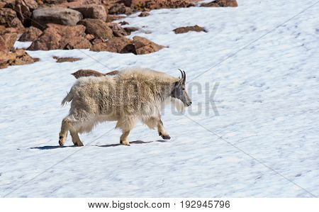 Mountain Goat Adult Walking in the Snow on the Rocky Mountains in Colorado