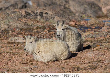 Mountain Goat Juveniles on the Rocky Mountains in Colorado