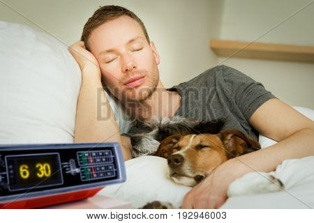 jack russell dog in bed resting or sleeping with owner dreaming in bedroom under the blanket to early for wake up alarm clock ringing