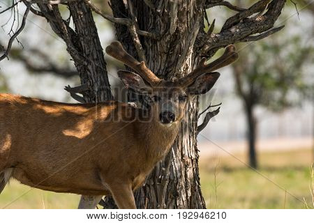 A Mule Deer Buck by Tree in Springtime
