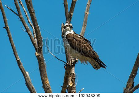 An Osprey Perched on a Branch Searching for Fish