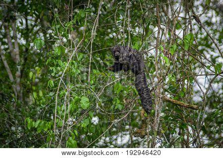 Beautiful saki monkey Pithecia monachus, sitting on a branch inside of the Amazon rainforest in Cuyabeno National Park, Ecuador.