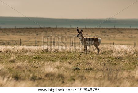 A Pronghorn on the Prairie in the Morning Hours