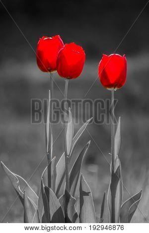 Three Red Tulips (tulipa) on black and white background