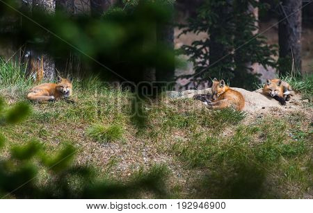 Red Fox Triplets Lounging around the Den