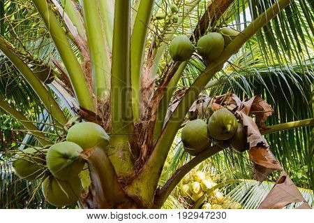 Coconut palm tree with fruit in exotic country