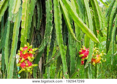 Dragons Fruit, Pitahaya Fruit Plantation