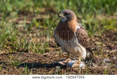 A Spring Swainson's Hawk Enjoying an Earned Meal