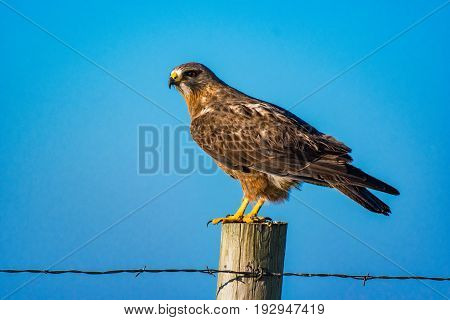 A Juvenile Swainson's Hawk Perched on a Fence Post in the Morning Sunlight