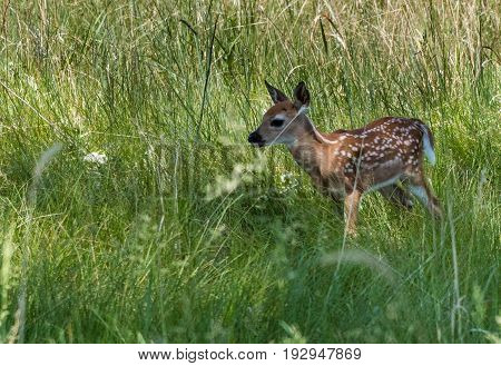 A White-tail Newborn Baby Fawn in Wooded Forest