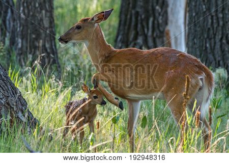 Mother White-tail Deer Doe and Baby Fawn