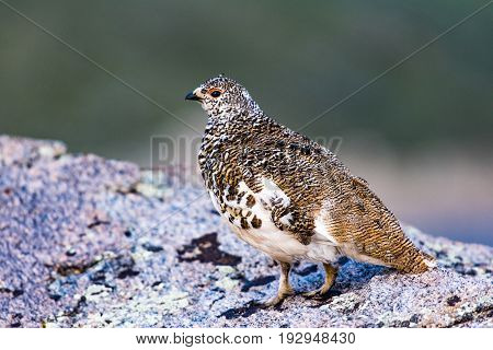 A White-tailed Ptarmigan in Molting Spring Plumage