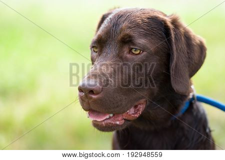 dog school - young cute brown labrador retriever puppy on a meadow with a leash around his neck looking very funny