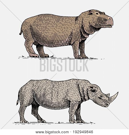hippopotamus and black or white rhinoceros hand drawn, engraved wild animals in vintage or retro style, african zoology set.