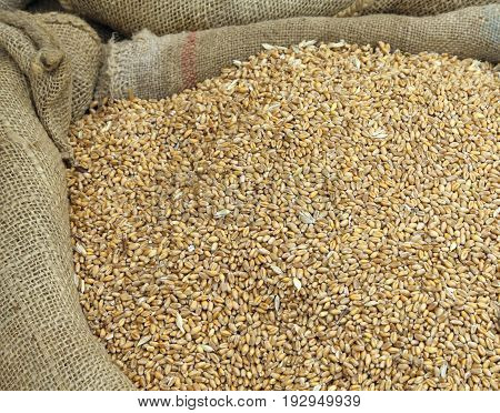 Background Of Wheat Seeds In A Sack Of Jute After Harvest