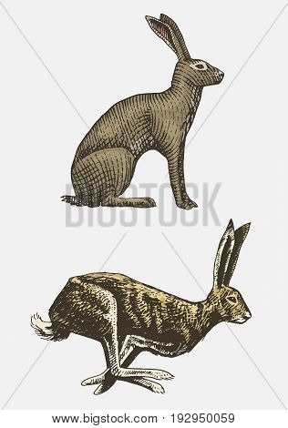 Rabbit or hare sitting and running hand drawn, engraved wild animals in vintage or retro style, zoology set european.