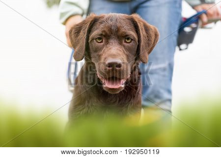 portrait of a  cute brown labrador retriever dog puppy on a meadow with a young woman