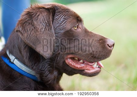 dog school - young cute brown labrador retriever dog puppy on a meadow with a leash around his neck waiting - profile portrait