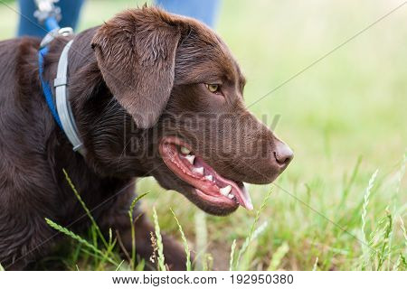dog school - young cute brown labrador retriever dog puppy on a meadow with a leash around his neck waiting
