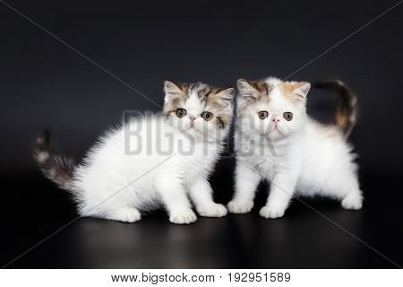 Persian kittens on a black studio background