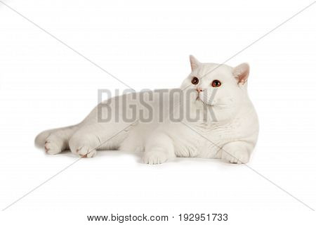 White beautiful British cat lies on a white background