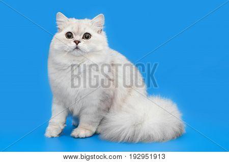 White fluffy beautiful cat on studio blue background. Chinchillar longhair Briton.
