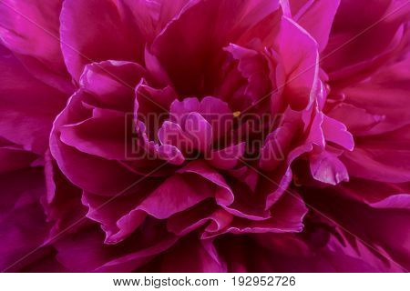 crimson pink peony flower closeup on black or white background