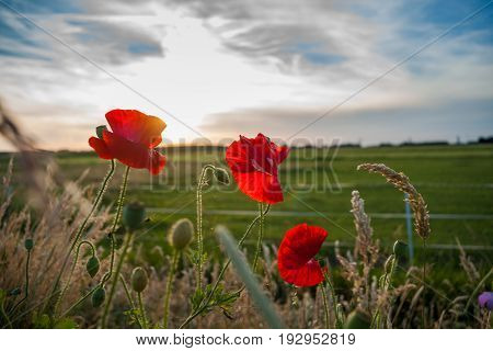 Red poppies at the end of spring along the road. Field flowers between high grass during sunset in the Dutch landscape
