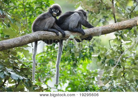 Spectacled Langur On Branch