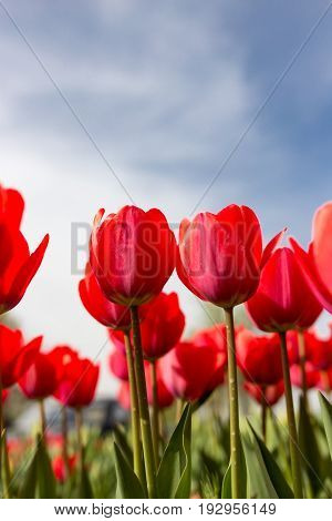 Red tulips against the blue sky in the nature .