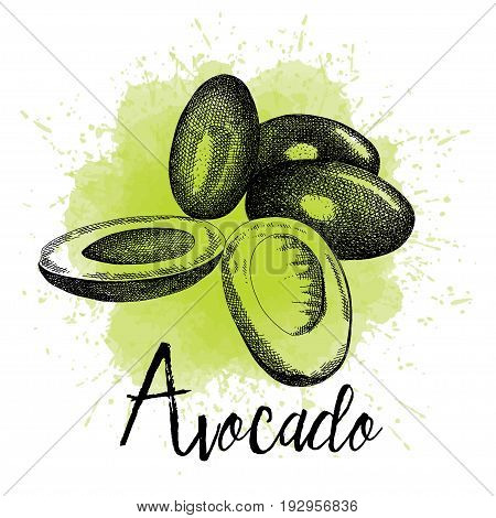 Vector illustration of avocado in hand-drawn graphics. A fruit is depicted on a green watercolor background. Design for packaging