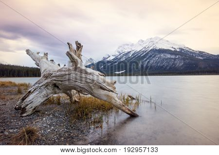 Old tree stump laying on the shore of the calm lake with a high mountain covered by snow behind, Banff national Park, Canada