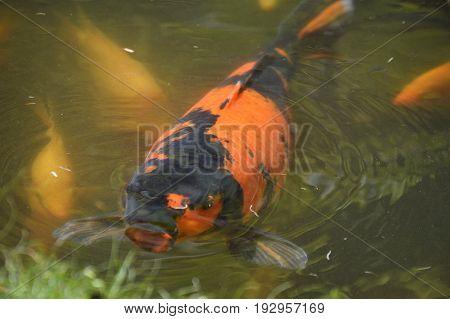 black and orange koi fish under water